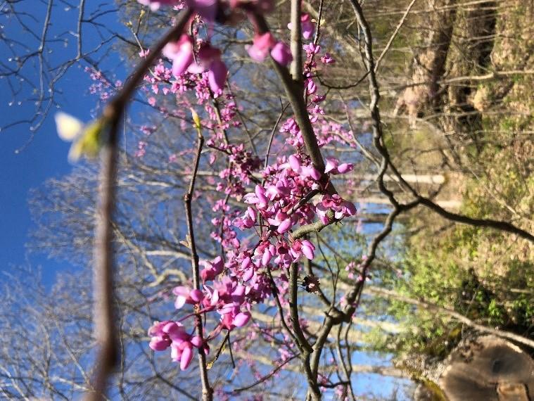 Close up of Redbud Blossoms