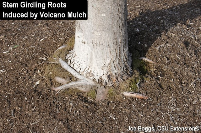 Girdled roots