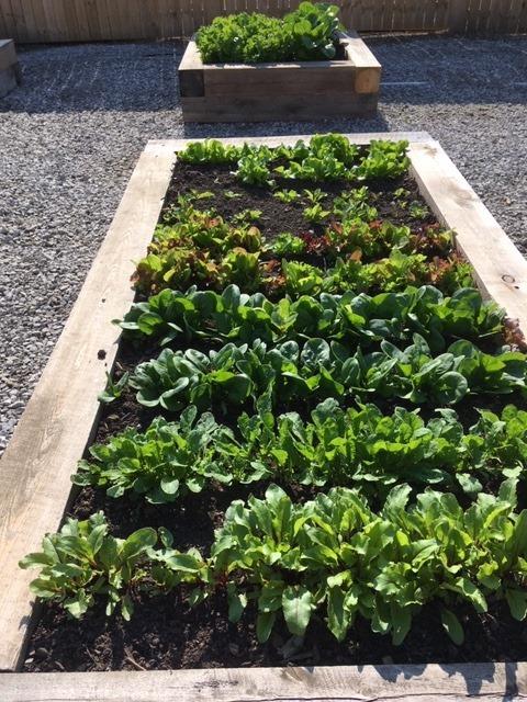 Lettuce raised bed at AHA! Children's Museum