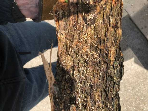 picture of a termite infested log