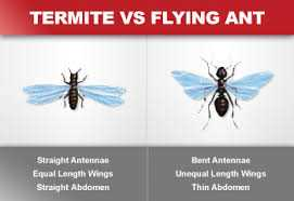 Comparison photos of a Termite versus a Flying Ant